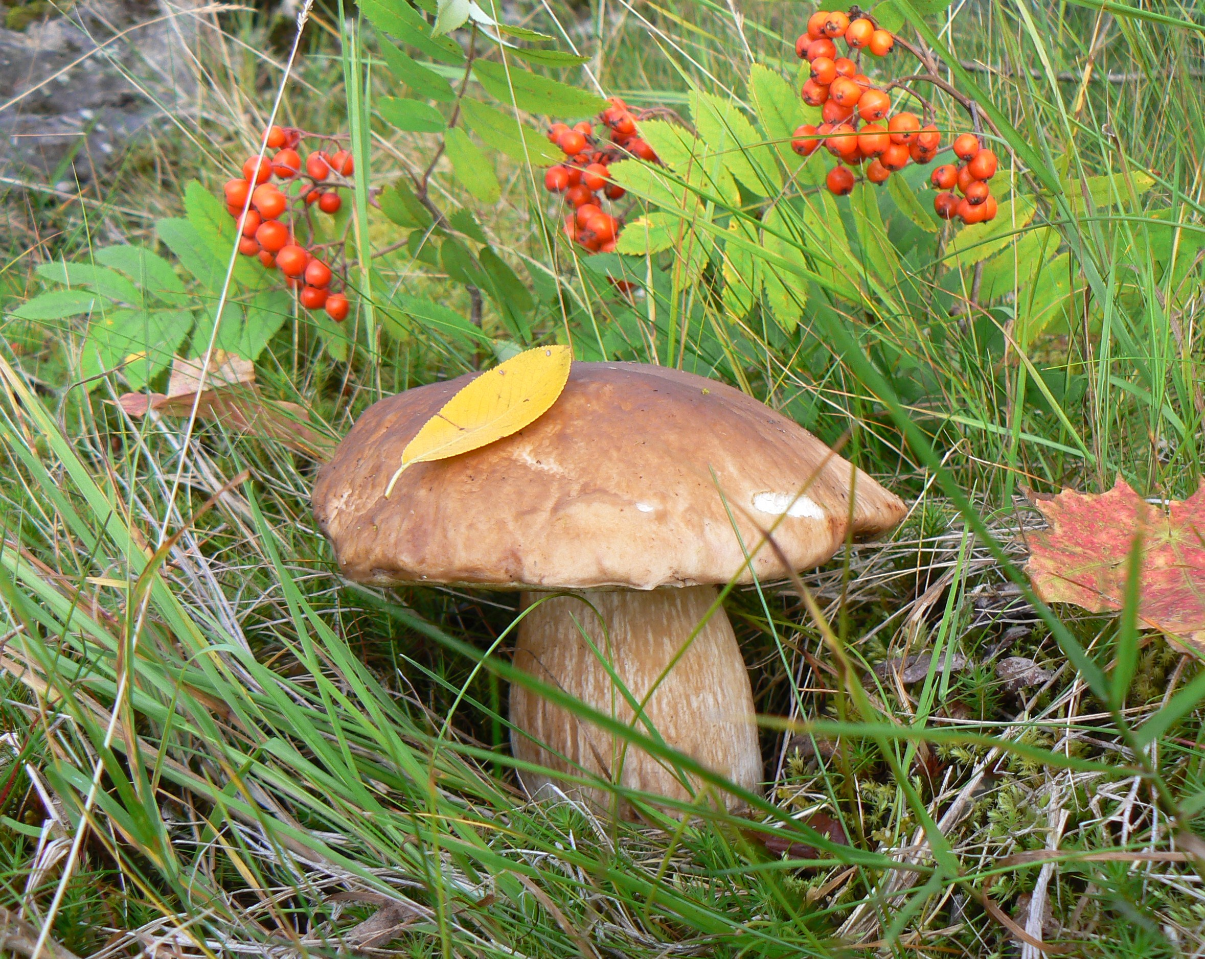 Название: белый гриб.JPG Просмотров: 1468  Размер: 1.36 Мб